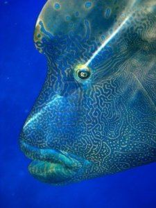 humphead-maori-wrasse-face-on-the-great-barrier-reef-queensland-australia