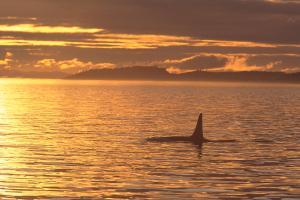 orca-killer-whale-john-hyde