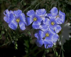 Flax_flowers