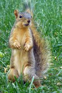 Squirrel-standing