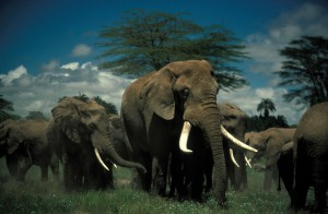 Nature: Unforgetable Elephants