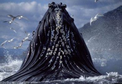 Humpback-Whales-Feeding-I-002