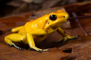 golden_poison_dart_frog_small